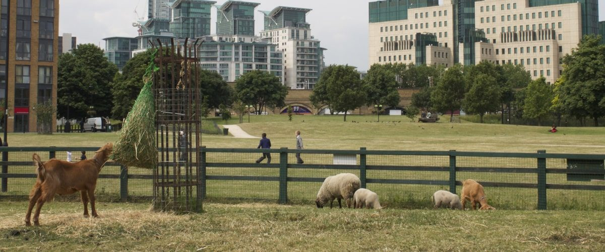 Vauxhall City Farm goats and sheep grazing