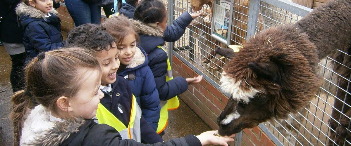 Vauxhall City Farm close up of alpaca feeding