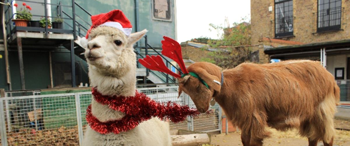Vauxhall Farm goat and llama christmas london
