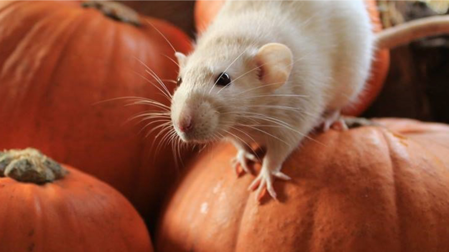 Close up of mouse on a pumpkin